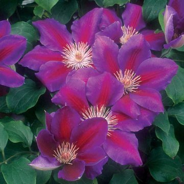 Anna-Louise™ Clematis