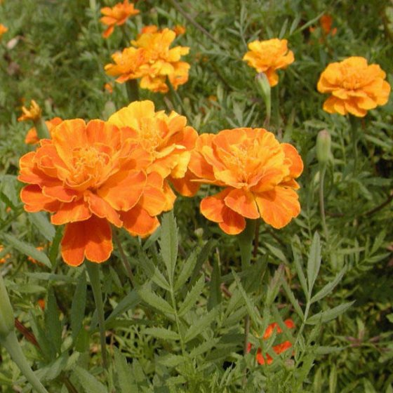 French Marigold Patula Tagetes Flower Garden Plant Seed