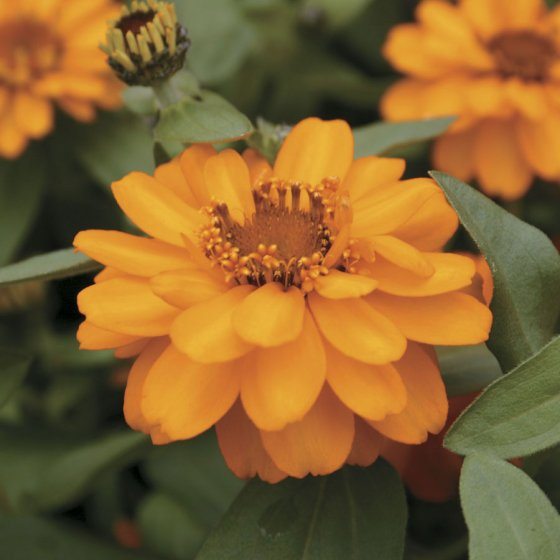 Profusion Double Golden Zinnia Seeds [WS-22210]
