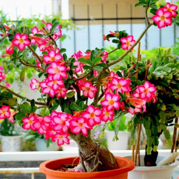 10pcs adenium obesum seeds balcony flowers rainbow desert rose seeds