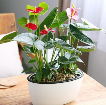 120pcs/bag anthurium bonsai indoor potted hydroponic flowers seeds