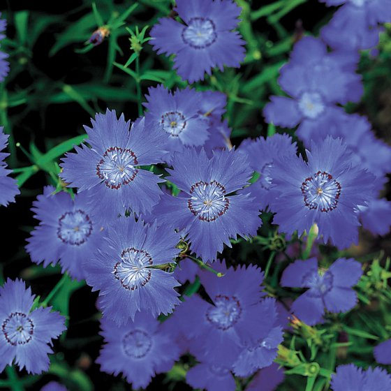 Siberian Blues Dianthus Seeds [WS-22441]