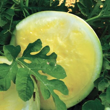 Triple Gold Hybrid Watermelon Seeds