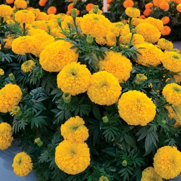 Marigold Big Duck Gold F1