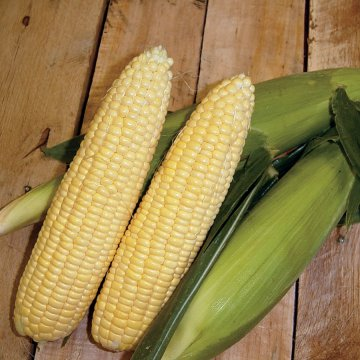 Yellow Mirai® 160Y Corn Seeds