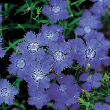 Siberian Blues Dianthus Seeds
