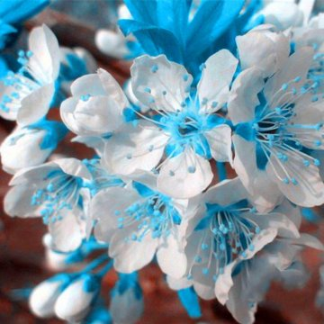 10 pcs/bag blue cherry seeds blue sky white cherry garden mini bonsa