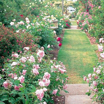 200pcs garden climbing rose seeds balcony drcoration mix colors flower seeds