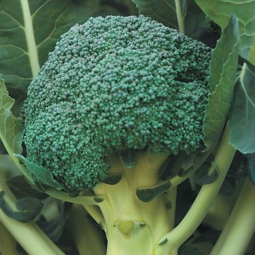 Gypsy Hybrid Broccoli Seeds