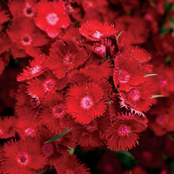 Rockin' Red Dianthus Seeds