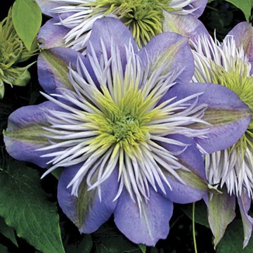 Crystal Fountain Clematis