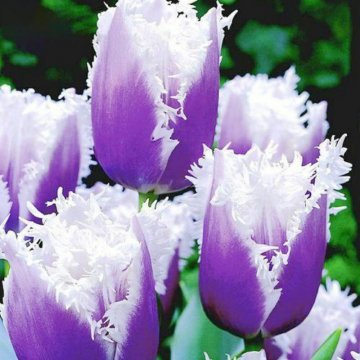 50pcs/bag tulip seeds rare bonsai flower