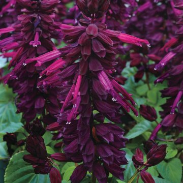 Vista Purple Salvia Seeds