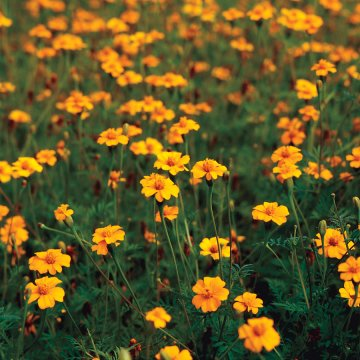 Golden Guardian Marigold Seeds