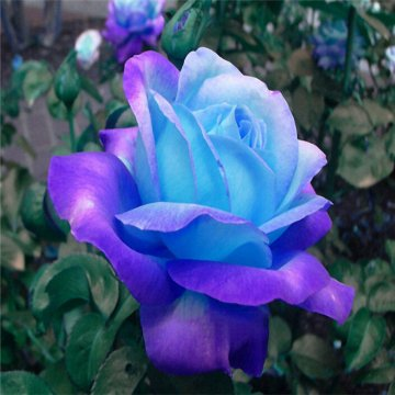 100 pcs midnight supreme rose seeds potted flower seed purple rose seeds for home planting
