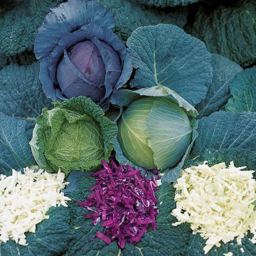 Park's All-Purpose Blend Cabbage Seeds