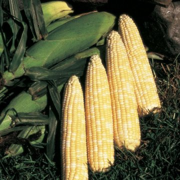 Honey 'N Pearl Hybrid Corn Seeds