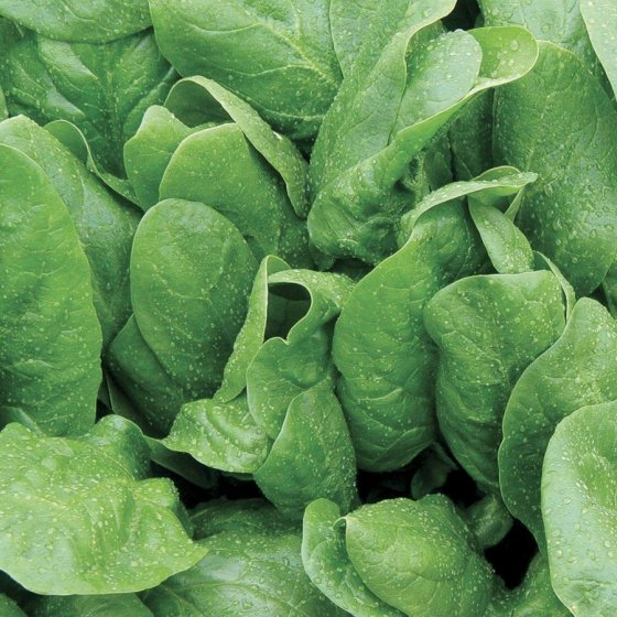 Space Hybrid Spinach Seeds [WS-16356]