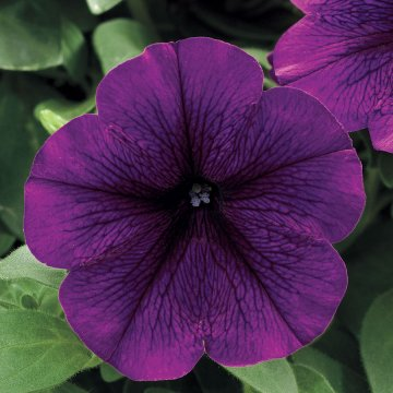Trilogy Deep Purple Petunia Seeds