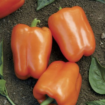 Orange Blaze Hybrid Pepper Seeds