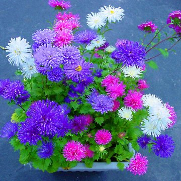 200pcs/pack chinese aster bonsai seeds summer big flowers chinese chrysanthemum for home gaden plant