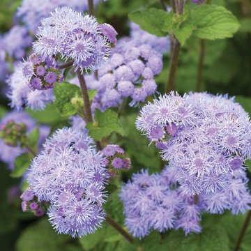 20pcs/pack ageratum seeds garden courtyard annual blue purple beautify flowers plants seeds