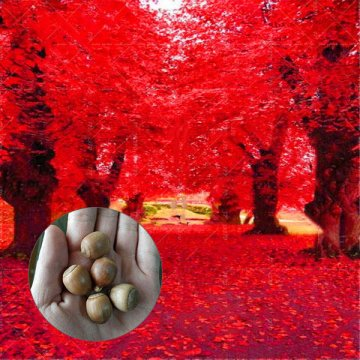 2 pcs/pack american red oak seeds beautiful tree diy home garden plants bonsai tree easy to grow