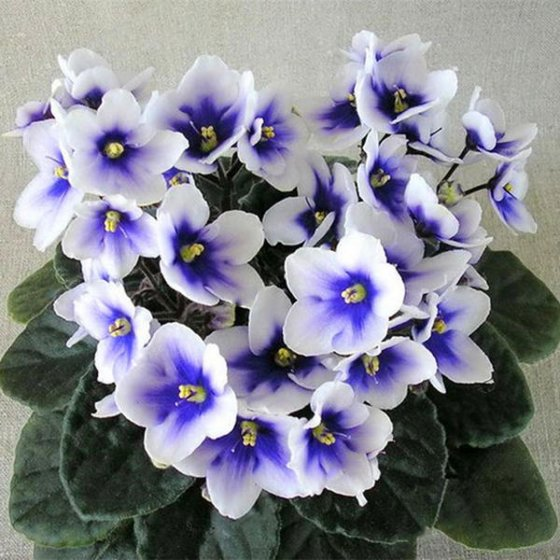 100pcs/bag violet seeds variety of colors mini violet seeds