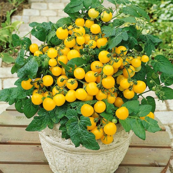 Patio Choice Yellow Hybrid Tomato Seeds [WS-16502]