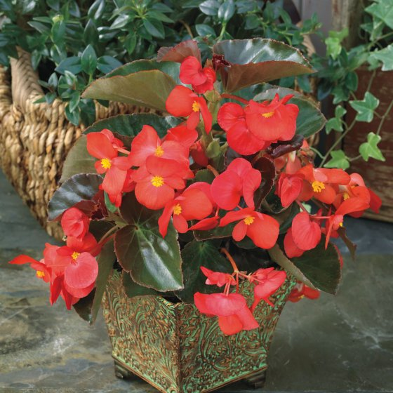 BIG™ Red with Bronze Leaf Begonia Seeds [WS-510358]