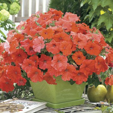 African Sunset Petunia Seeds