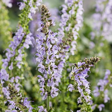 Crystal Blue Salvia