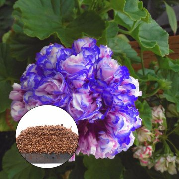 50pcs/bag geranium seeds night blue geranium seeds appleblossom rosebud pelargonium perennial garden flower seeds