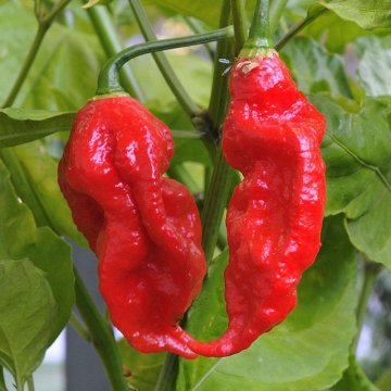 200pcs indian ghost pepper seeds chili seeds vegetable rare red carolina pepper seeds