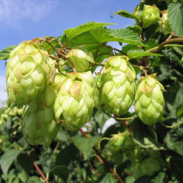 100pc/spack hops seeds humulus lupulus brewing beer plant tea herb brew german magnum
