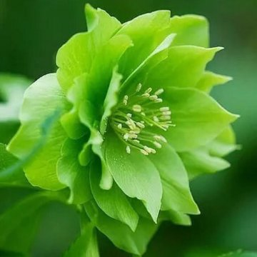 100 pcs/bag helleborus seeds winter rose flower grow in winter rare flower seeds outdoor plant