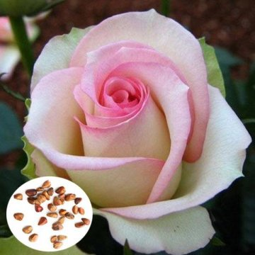 50 Pcs Pink White Rose Seeds DIY Home Garden Dec