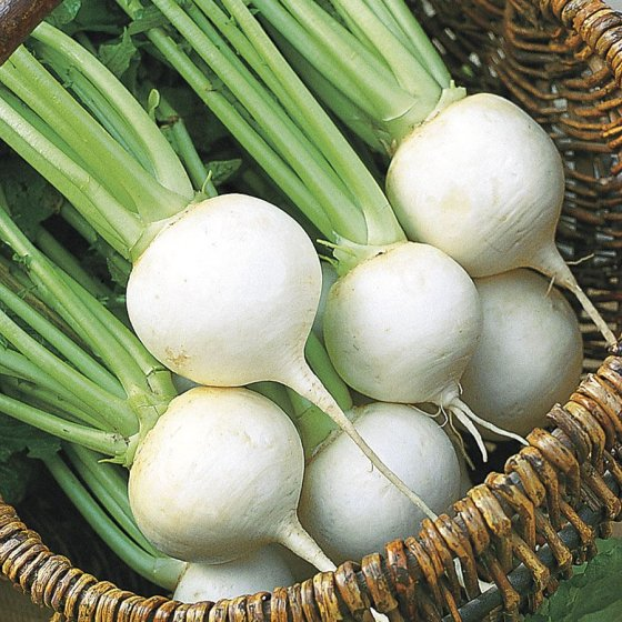 White Ball Hybrid Turnip Seeds