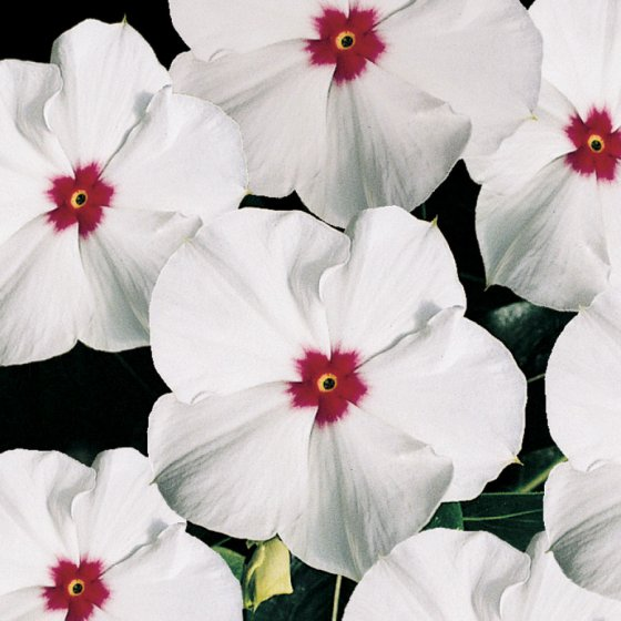 Pacifica Polka Dot Hybrid Vinca Flower Seeds [WS-22147]