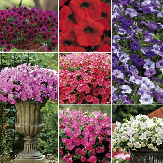 Shock Wave™ Petunia Seed Collection [WS-22313]