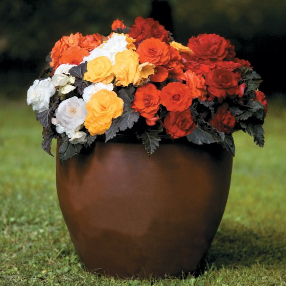 Non-Stop® Mocca Mix Begonia Seeds [WS-510347]