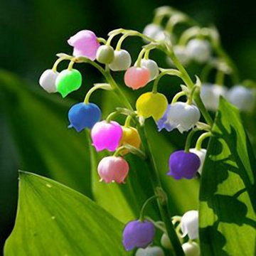 50 pcs rare lily of valley flower seeds colored rainbow bell orchid seed garden bonsai