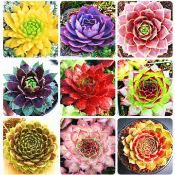 100pcs/bag sempervivum seeds colorful gardening succulent plant flower seed