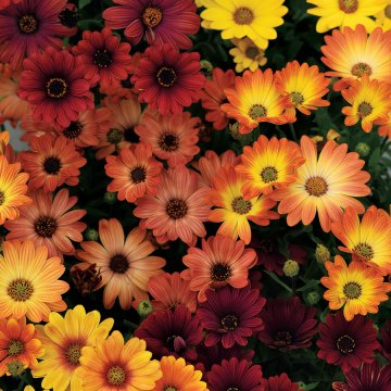 Osteospermum Akila ® Sunset Shades