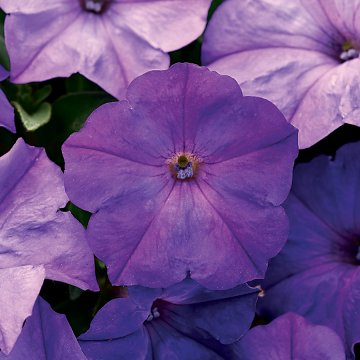 Easy Wave™ F1 Lavender Sky Blue Petunia Seeds