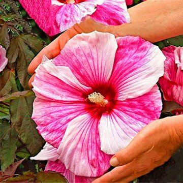 50 pcs/pack giant hibiscus seeds flower flores beautiful flower bonsai plant diy home garden