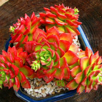100pcs/bag sedeveria letizia cactus seeds lotus lithops succulent bonsai potted flower seed