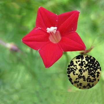 20pcs/pack cypress vine seeds red white gardening wall door climbing flowers plants