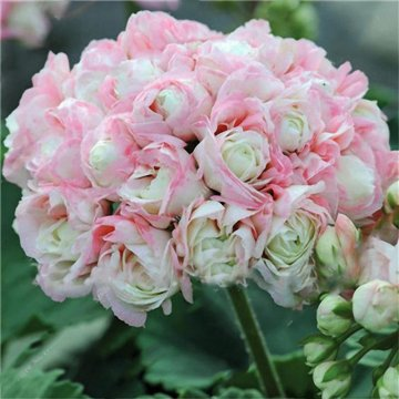 100 pcs garden geranium seed rare potted flower seeds perennial outdoor decoration plant