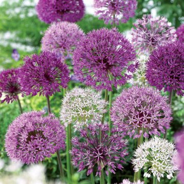 Allium Garden Box Collection
